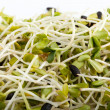Fresh alfalfa sprouts isolated on white background - Stock Photo