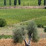 Toscaanse landschap met wijngaarden, olijfbomen en cipressen — Stockfoto #8724484