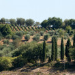 Tuscan landscape with vineyards, olive trees and cypresses — Stockfoto