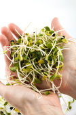 Fresh alfalfa sprouts isolated on white background — Stock Photo