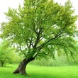 Stock Photo: Beautiful green spring tree with fresh leaves and grass