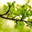 Spring Green Leaves in Bright Sunlight — Foto Stock