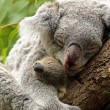 Koalwith Baby — Stock Photo #9555767
