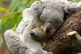Koala with Baby — Stock Photo