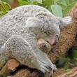 Koalwith Baby — Stock Photo #9565969