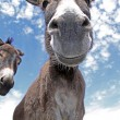 Funny Donkey - Stock Photo