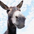 Funny Donkey — Stock Photo