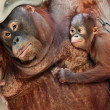Orang utan mother — Stock Photo
