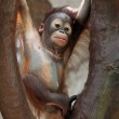 Baby Orang Utan — Stock Photo #9569516
