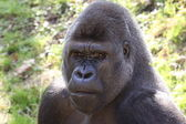 African western lowlands gorilla — Stock Photo