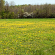 Dandelion meadow with flowers - 图库照片