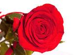 Red rose — Stok fotoğraf