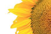 Sunflower on white background — Stock Photo