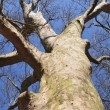 Sycamore tree - Stock Photo