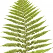 Постер, плакат: Ferns leaf