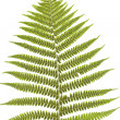 Stock Photo: Fern's leaf