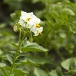 Potato plants — Stock Photo #9237199