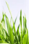 Succose lamierine verdi di un'erba contro il cielo chiaro — Foto Stock