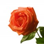 Red fresh rose — Stock Photo