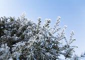 Coniferous tree — Stock Photo