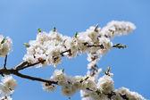 リンゴの木の花 — ストック写真
