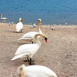 Swans on Lake Geneva. - Stock Photo