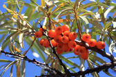 Branches of sea buckthorn with juicy berries (also known as Hippophae rhamnoides or Sallow Thorn) — Stock Photo