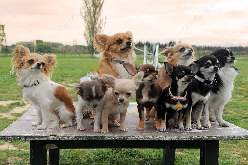 Group of purebred  puppy chihuahua on a table in the nature — Stock Photo #10131396