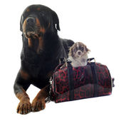 Rottweiler and puppy chihuahua — Stock Photo