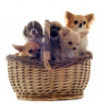 Five chihuahuas — Stock Photo #10408523
