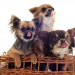 Hungry chihuahuas — Stock Photo