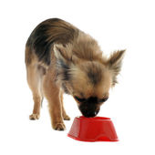 Puppy chihuahua and food bowl — Stock Photo