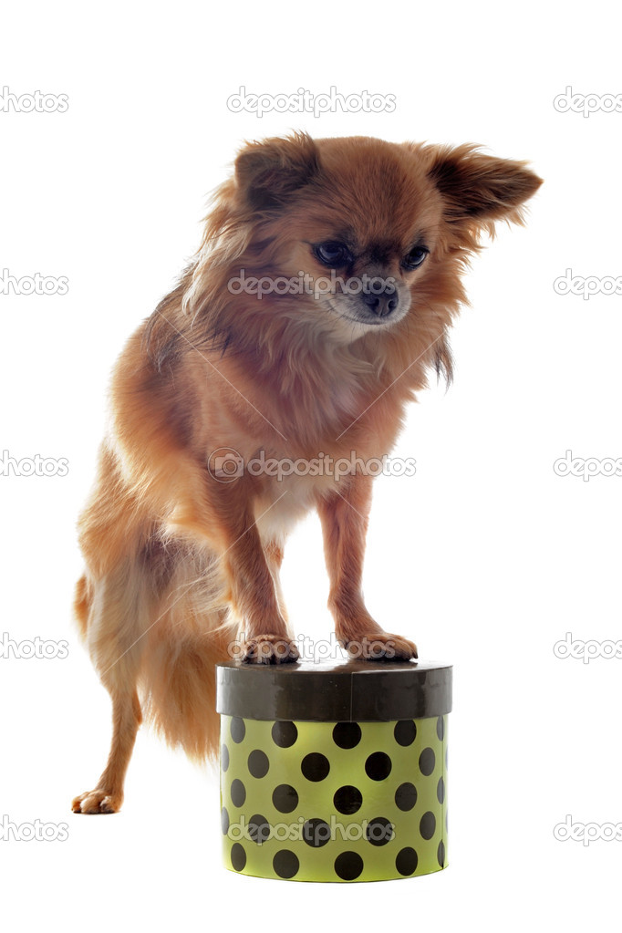Portrait of a cute purebred chihuahua on a box in front of white background  Stock Photo #10450532
