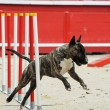 Bull terrier in agility — Stock Photo