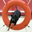 Manchester Terrier in agility - Stock Photo