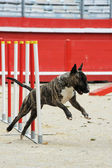 Bull terrier in agility — Stock Photo