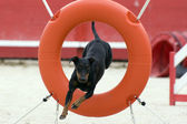 Manchester Terrier in agility — Stock Photo