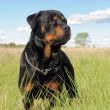 Rottweiler — Stock Photo #10521267