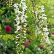 White wisteria flowers - Stock Photo
