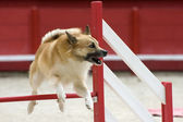 Icelandic Sheepdog in agility — Stock Photo