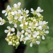 Whitetop or hoary cress - Stock Photo