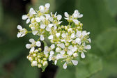 Whitetop or hoary cress — Stock Photo