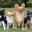 Four chihuahuas — Stock Photo