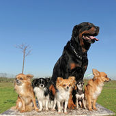 Chihuahuas and rottweiler — Stock Photo