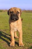 Pup-bull mastiff — Stockfoto