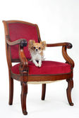 Chihuahua et chaise antique — Photo