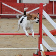 Stock Photo: Beagle in agility