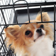 Chihuahua in kennel — Stock Photo