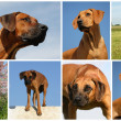 rhodesian ridgeback — Stock Photo