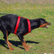 Stock Photo: Dangerous doberman